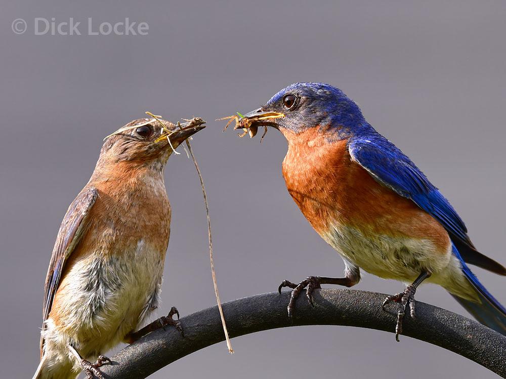 bluebird couple spider pass