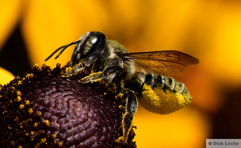 Bee Close Up Pictures