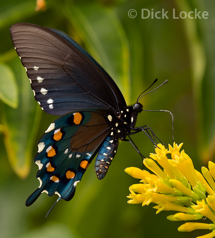 butterfly swallowtail butterfly pictures images