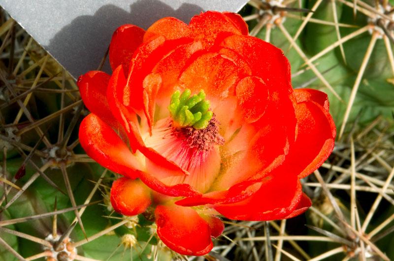Кактусовые цветы