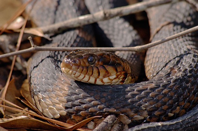 Snake Pictures -- Images of broad-banded water snakes by