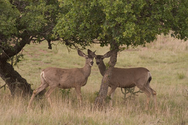 West Texas Wildlife Pictures (Images by Dick Locke)
