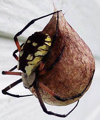 Common House Spider  Spider Bite Treatment